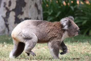 Wildlife tourism is a big part of Victoria's economy and spotting koalas is one of the fun things to as part of the Echidna Walkabout tour.