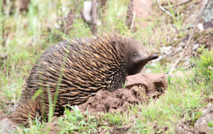 There's so much wildlife to see in Victoria, including the local echidnas. Picture: Supplied. Source: Echidna Walkabout tours
