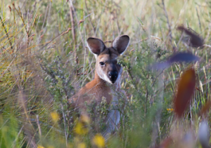 A red necked wallaby watches as visitors Janine Duffy's from Echidna Walkabout stroll by.